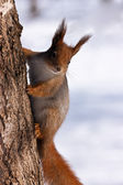 Red Squirrel hanging on tree — Stock Photo