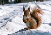 Cute squirrel — Stock Photo