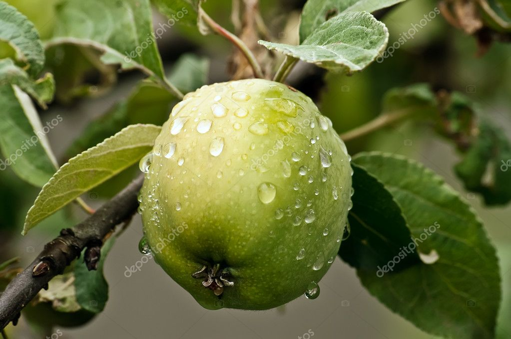 Green apple hanging from a tree with water droplets — Foto Stock #3122086