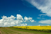 Rape field and country road — Stock Photo