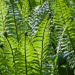 Stock Photo: Fresh Green Fern Frond