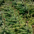 Young Spruce forest — Stockfoto