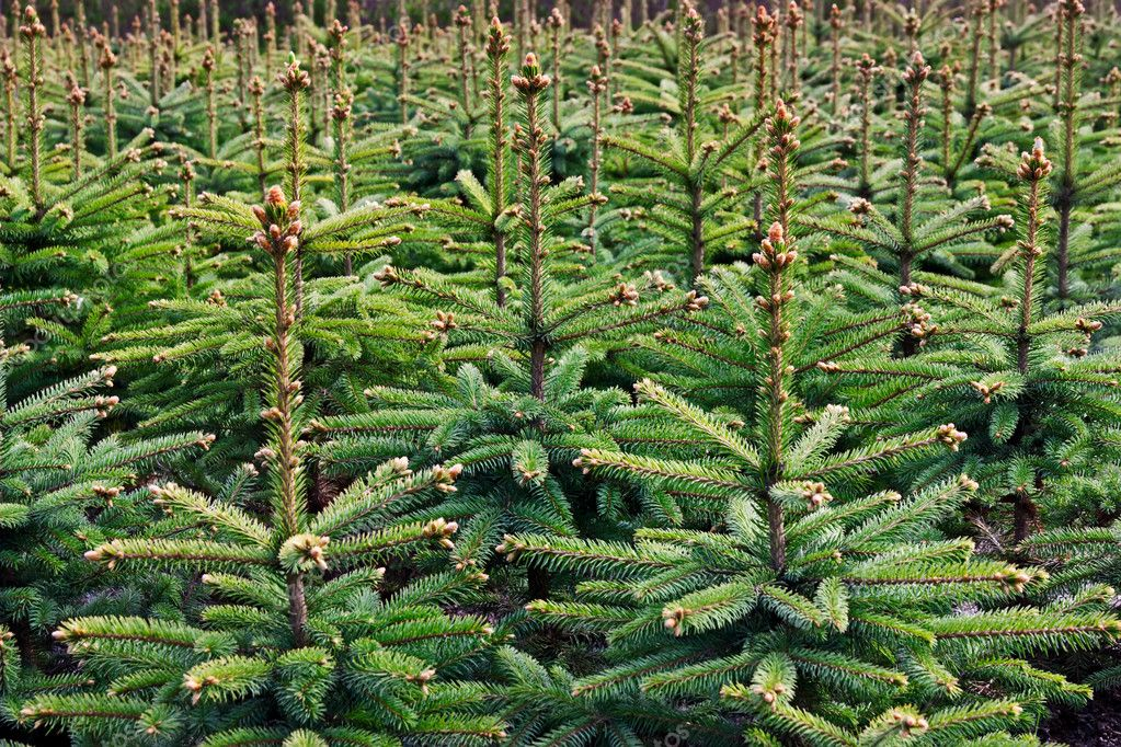 Young growing fir trees — Stok fotoğraf #3507013