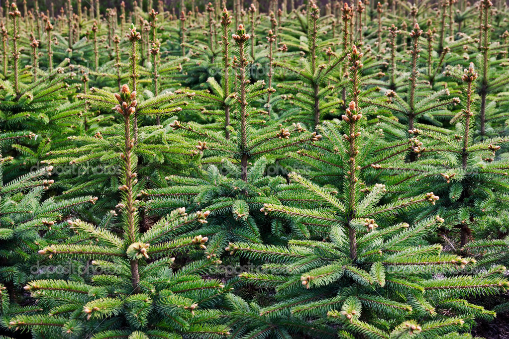 Young growing fir trees  Foto de Stock   #3507013