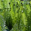 Fresh Green Fern Frond — Stock Photo #3674716