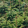 Young Spruce forest — Stock Photo