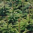 Stock Photo: Young Spruce forest