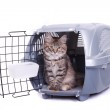 Siberian cat in carrying — Stock Photo
