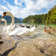 Alps lake with birds - Stock Photo