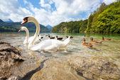 Alps lake with birds — Stock Photo