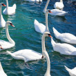 Flock of swans - Stock Photo