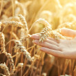 Woman hand with ear of wheat — Stockfoto