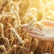 Woman hand with ear of wheat - Stock Photo