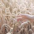 Stockfoto: Woman hand with ear of wheat