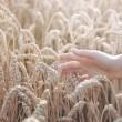 kadın el ile kulak buğday — Stok fotoğraf
