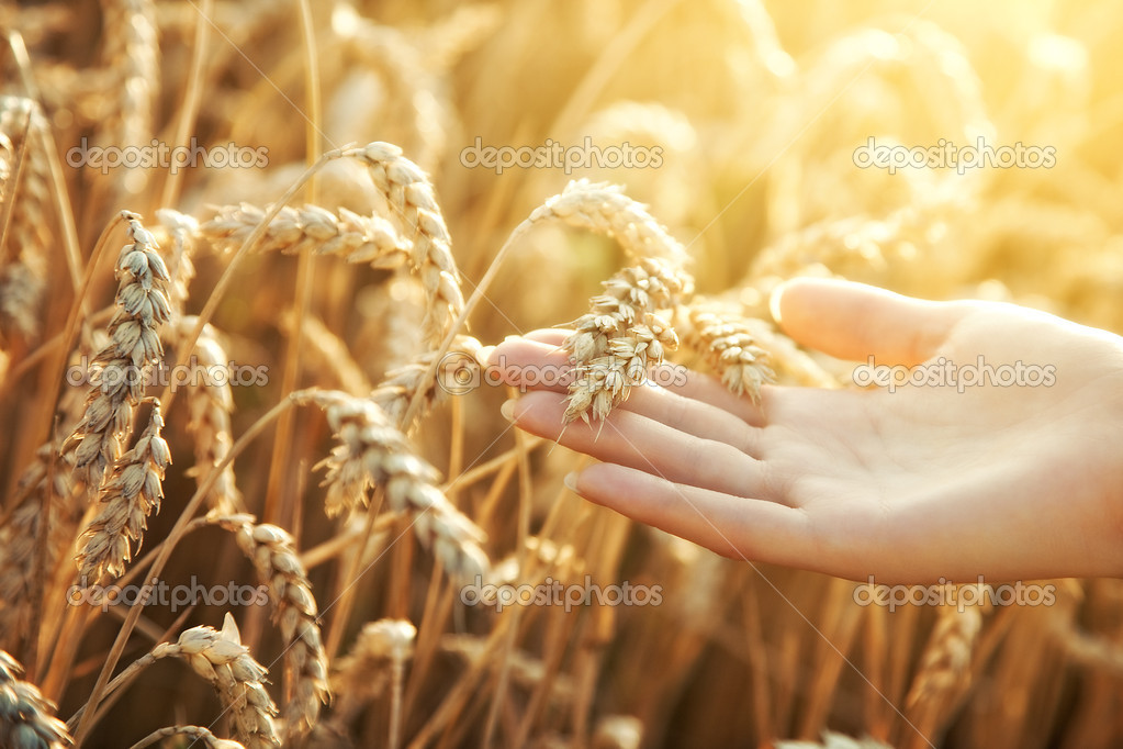 Woman hand with ear of wheat. Sunset light. — Stock Photo #3728100