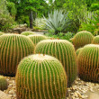 Giant cactuses in Botanical Garden — Stock Photo