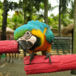 Blue and yellow macaw parrot — Stock Photo