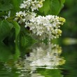 Branch of white lilac in the garden - Stock Photo