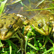 Green frogs — Stock Photo