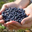 Stock Photo: Handful of blueberries