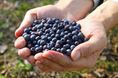 Handful of blueberries — Stockfoto