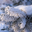 Fur-tree branch powdered with snow — Foto Stock
