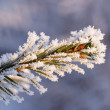 Fur-tree branch powdered with snow — Foto de Stock