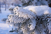 Fur-tree branch powdered with snow — Stock Photo