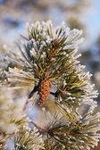 The pine cone — Stock Photo