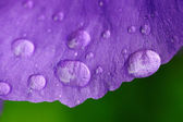 Dew on a lilac petal — Stock Photo