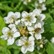Blossoming blackberry — Stock Photo