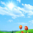 Red tulips on blue sky — Stock Photo