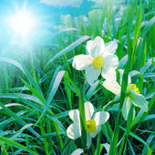 Narcissus on blue sky — Stock Photo