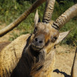 Old nubian ibex closeup — Stock Photo