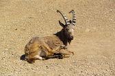 Siberian ibex — Stock Photo