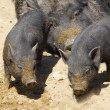 Black pigs — Stock Photo