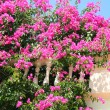 Greece. Kos island. Pink flowers — Stock Photo