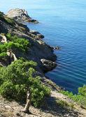 Ukraine. Crimea. The Black Sea. Pine tree — Stock Photo