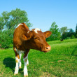 The Calf on tether. — Stock Photo