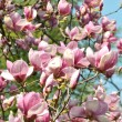 Magnolia — Stock Photo #2721564