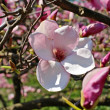 Magnolia — Stock Photo #2721659