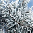 Pine tree branches — Stock Photo #3557589