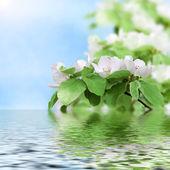 The beautiful flowering peach — Stock Photo