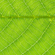 Stock Photo: Nut-tree Leaf Texture