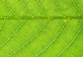 Nut-tree Leaf Texture — Stock Photo