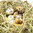 Group of quail spotted eggs in bird nest isolated on white - Stock Photo