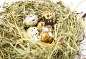 Group of quail spotted eggs in bird nest isolated on white — Stock Photo