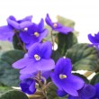 Stock Photo: Beautiful Violet