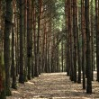 Pine Forest — Stock Photo #2846036